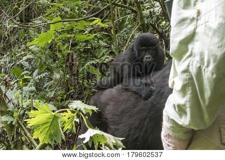 Tourist And Mountain Gorilla Youth, Bwindi Impenetrable Forest National Park, Uganda