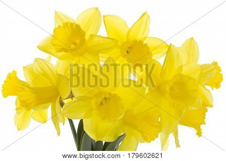 Bouquet of daffodils isolated on white background