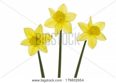 Three daffodils standing, isolated on white background