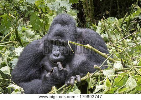 Silverback Gorilla Picking Teeth, Bwindi Impenetrable Forest National Park, Uganda