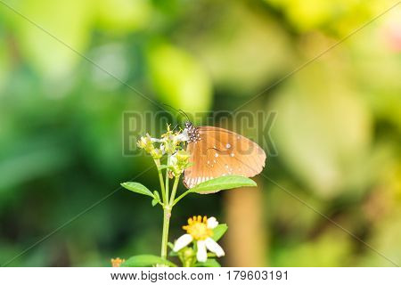 A butterfly feeding on white daisies in sunshine