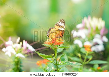 A butterfly feeding on lantana flower in a summer garden