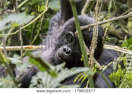 Mountain Gorilla Youth In Trees, Bwindi Impenetrable Forest National Park, Uganda