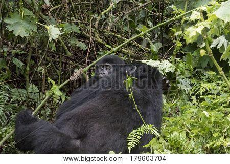 Female Mountain Gorilla With Baby, Bwindi Impenetrable Forest National Park, Uganda