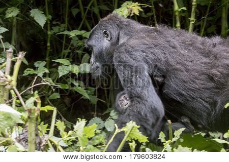 Female Gorilla Carrying Baby, Bwindi Impenetrable Forest National Park, Uganda