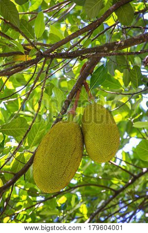 The jack fruit on the tree