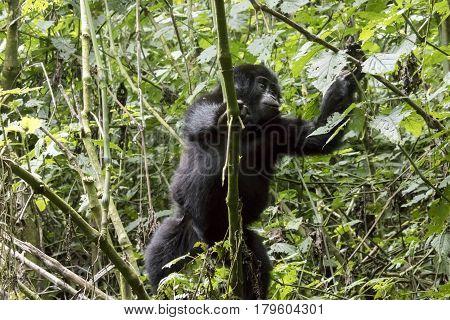 Climbing Baby Mountain Gorilla, Bwindi Impenetrable Forest National Park, Uganda