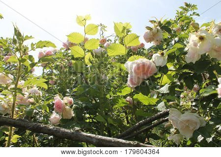 Wild English garden with pale pink roses and hazel. Old Rose Garden, illuminated by sunlight