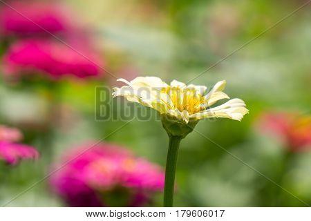 Zinnia elegans or Classic Zinnia flower in garden with sun flare