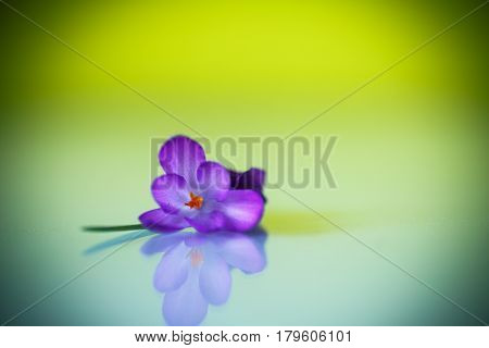 Beautiful purple crocus flower on a green background