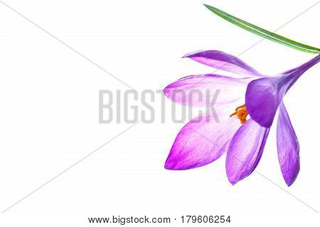 beautiful purple crocus flower on a white background
