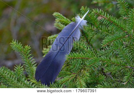 raven feathers on the branches of spruce South Bohemia Czech Republic