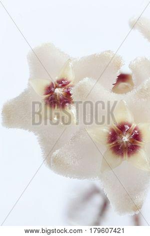 the Hoya flowers macro shot white background