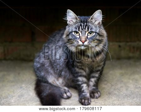 Tough gray cat stares ready for action