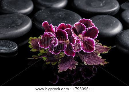 Beautiful Spa Concept Of Nettle Leaf With Velvet Geranium Flower On Black Zen Stones With Drops, Roy