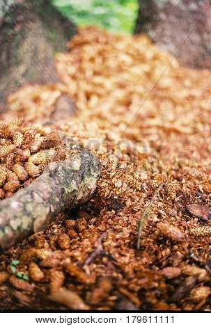 Soft Focus Tiny Pinecoon Background