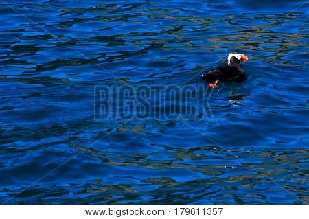 Puffin Swimming In Ocean
