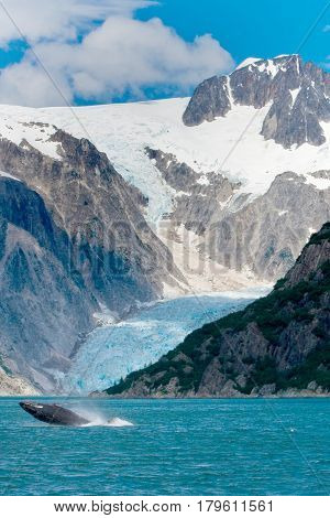 Humpback Whale Jumping Out Of Water In Front Of Glacier In Alaska