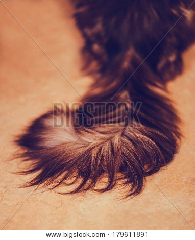 Maine Coon, tail. The largest cat. Close up of handsome adult maine coon on blur background.