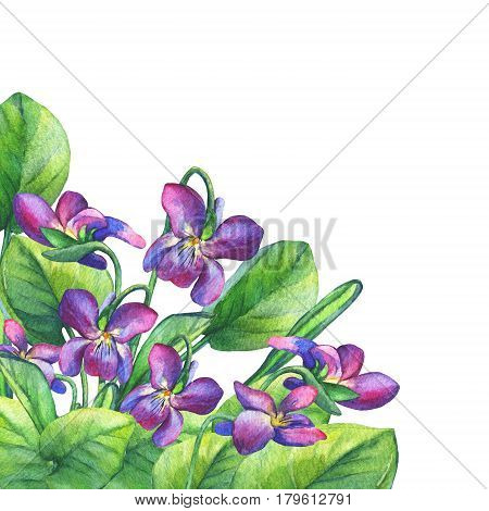 Colorful spring flowers Fragrant violets (English Sweet Violets, Viola odorata). Hand drawn watercolor painting on white background.