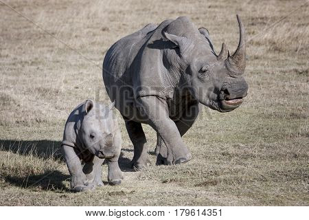 female rhino and her baby running on the African savannah a photographer Kenya