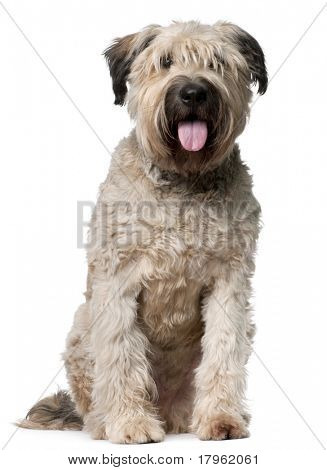 Bouvier des Flandres, 2 years old, sitting in front of white background