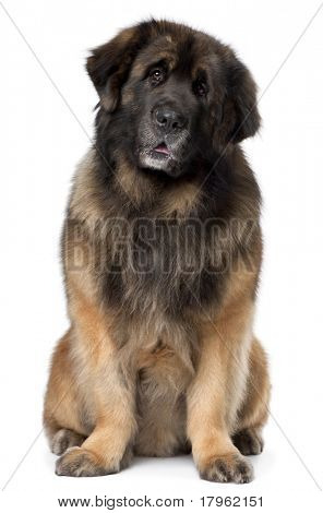 Leonberger, 5 years old, sitting in front of white background