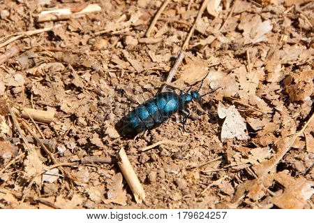 Large turquoise bug on a dirt road