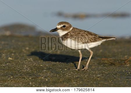 A Wilson's Plover, Charadrius wilsonia walking on a mudflat in Florida