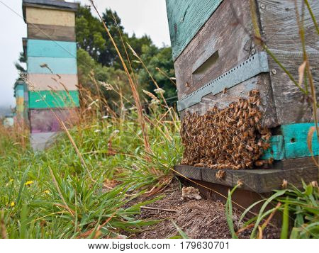 Group Of Bees At The Entrance Of A  Beehive