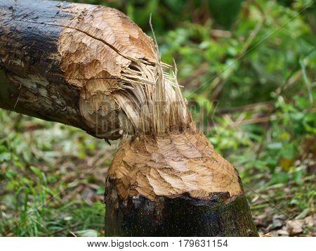 Tree Felling By Beaver