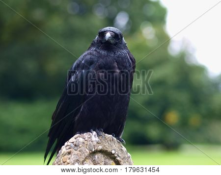 Black Carrion Crow Frontal View