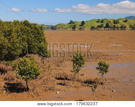 Mangroves In Estuary New Zealand