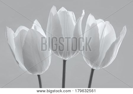 white spring flowers tulips on gray background