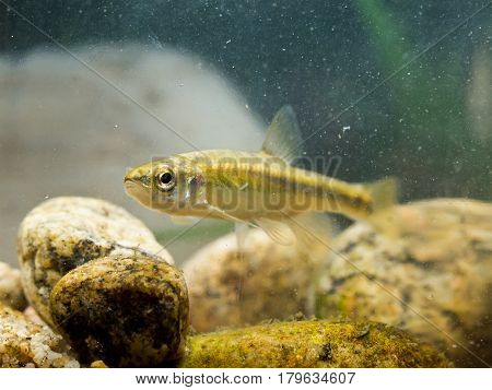 Eurasian Minnow In Natural Habitat