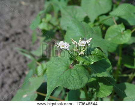 Buckwheat sprouts on the field. Buckwheat young plants  in the garden. Agricultural culture. Honey and medicinal plants Ukraine.