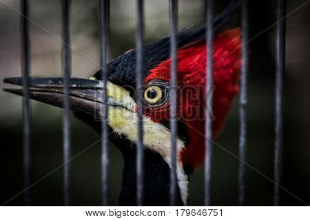 Beautiful caged woodpecker looking directly at you through its cage