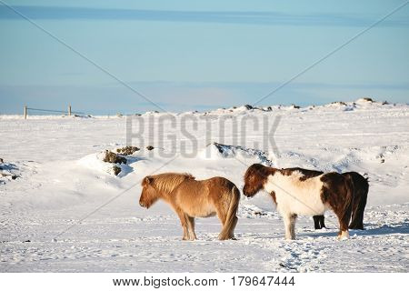 Cute chubby Pony horses standing in winter