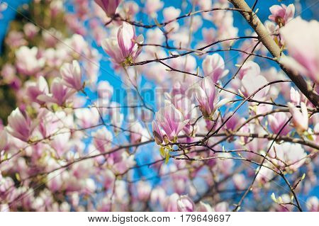 Perfect Blossom. Magnolia tree blossom during spring time in Europe