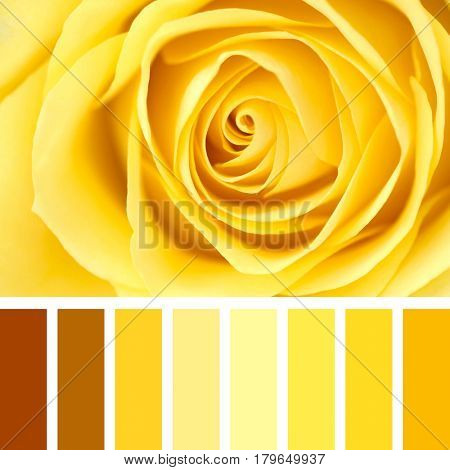 Closeup of a delicate yellow rose, in a colour palette with complimentary colour swatches.