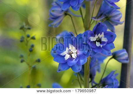 Purple, Blue And White Larkspur Flower