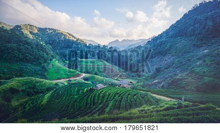 Background natural landscape view on the mountains. tea plantation on the mountain. Thailand doi-angkhang
