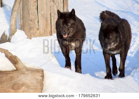 wo black canadian wolves on a morning walk. Animals in wildlife.