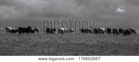 A herd of cows grazing on the ranch panaramic