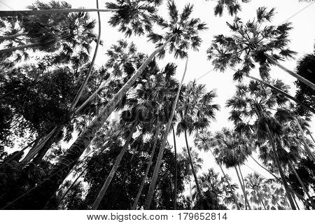 Sugar Palm Or Toddy Palm Tree Branch Silhouette Against White Background.