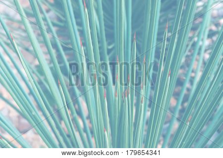 background nature. Natural background Leaves of Succulent Plant. Agave