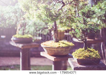 background nature. Natural background Garden Bonsai trees. sunlight