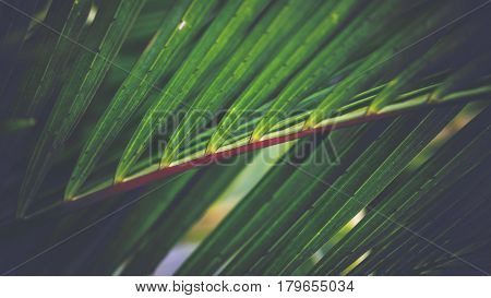 Natural background of green leaves. Background leaves green. Cyrtostachys renda Blum leaves