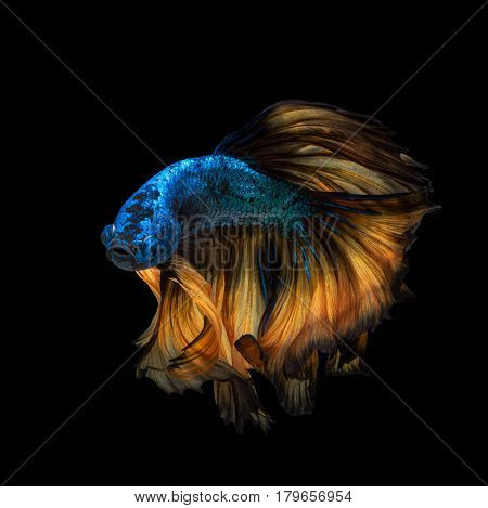 Betta Fish Or Siamese Fighting Fish In Movement Isolated On Black Background
