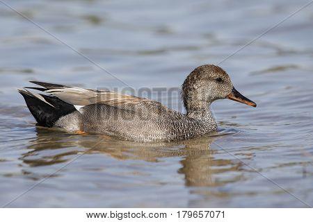 Male Gadwall Swimming In A Lake -  San Diego, California